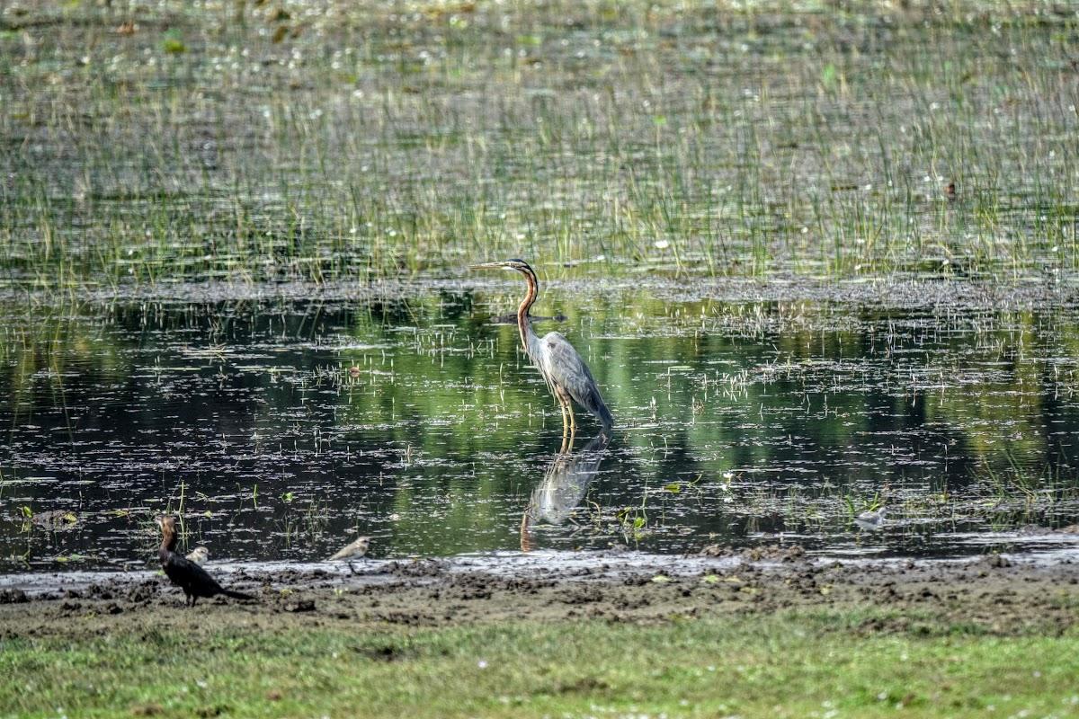 Sri. Lanka Wilpattu National Park . Grey Heron