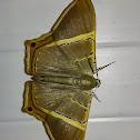 Incolorata Moth / Mariposa-Incolorata