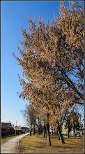 Photo: Arțar, Paltin de munte - (Acer pseudoplatanus) - din Parcul Mr.1 - 2017.02.11