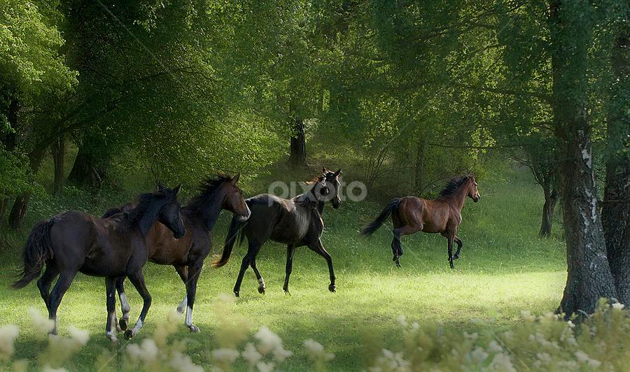 Running horses by Allan Wallberg - Animals Horses ( horses, running,  )