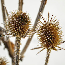 Wild and frozen by Mikaela Dana - Nature Up Close Other Natural Objects ( plant, wildflowers, wild, thistle, winter, outdoor, snow, nikon, botanical )