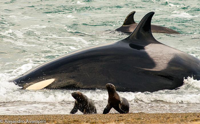 orcas_orcinus_norte