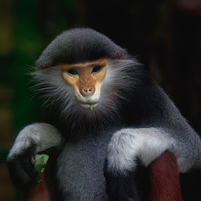 Monkey : Red Shanked Douc Langur by Andre Minoretti - Animals Other ( vietnam, mamifere, monkey, asian, animal )