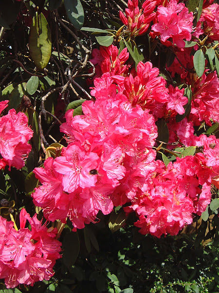 Photo: Rhododendron - Diana