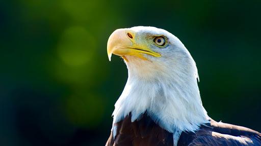 Eagle HD Live Wallpaper