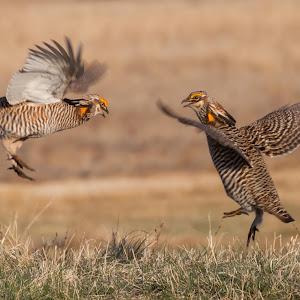 Prairie Chickens - Fighting 5.jpg