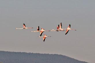 Photo: Greater Flamingo