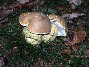 Photo: Penny Bun, Boletus edulis.