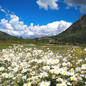 Mountain Meadow by Stephen Botel - Landscapes Prairies, Meadows & Fields ( clouds, wildflowers, mountains, rocky mountains, colorado, daisies, trees, scenic, flowers, landscape )