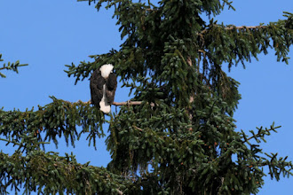 Photo: Bald eagle sleeping late, 8:20 AM, near Skagway