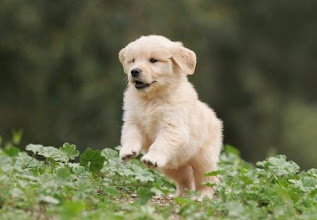 Photo: A Golden Meadows Retrievers puppy jumping in the field.