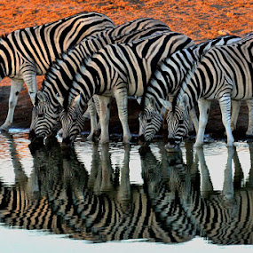 Zebra Refletion by Jan Jacobs - Animals Other ( fantastic wildlife )