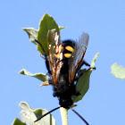 Mammoth wasp