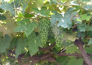 Photo: Виноград в Ангре растет прямо на улице