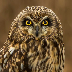 219A3620 edited,perched,head,shot,owl.jpg