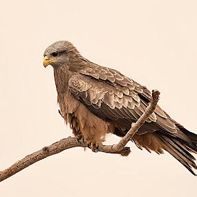 Yellowbill Kite by Elna Geringer - Uncategorized All Uncategorized (  )