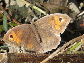 Photo: 12 Aug 13 Priorslee Lake: Afine Meadow Brown butterfly. The wings are spread here as the sun was rather weak: in full sun this species usually rests with its wings closed. (Ed Wilson)