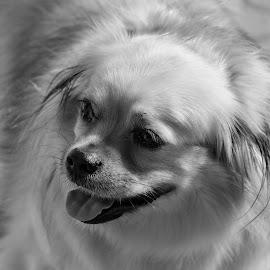 by Zlatko Gašpar - Animals - Dogs Portraits