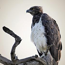 Martial Eagle by Pieter J de Villiers - Animals Birds (  )
