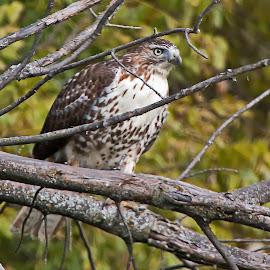 Perched by Bill Diller - Animals Fish ( red-tailed hawk, birds of prey, michigan, bird of prey, nature, bird, tree limb, perched, hawk, wildlife )