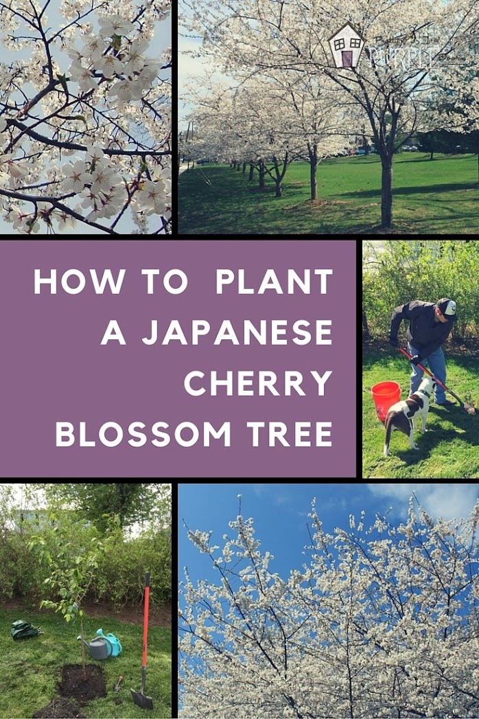 How to Plant a Japanese Cherry Blossom Tree| PrettyPurpleDoor.com