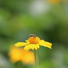 Yellow by Sudipta Ghosh - Flowers Single Flower