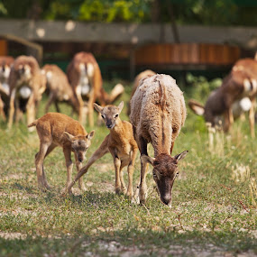 Some kind of babies by Nicu Buculei - Animals Other Mammals ( mammals, animals, babies, mufloons, herd,  )