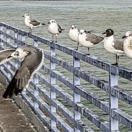 See You, Fellas! by Richard Michael Lingo - Animals Birds ( flight, seagulls, texas, birds, fence )