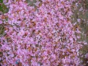 Photo: petali di ciliegio