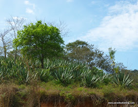 "Photo: Green agave, used to make the specialty alcoholic drink, ""raicilla"""