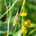 Atractomorpha sinensis 短額負蝗