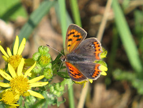 Photo: 26 Jul 13 Priorslee Lake: My last new 'common' butterfly for this year: a Small Copper. Some new species are possible but unlikely around the lake (I missed Brimstone in the Spring). (Ed Wilson)