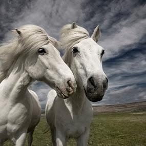 Inseparables by Bragi Ingibergsson - Animals Horses ( animals, iceland, friends, horses, brin, bragi j. ingibergsson )