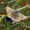 Yellow-banded Skipper