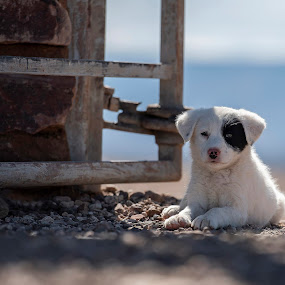 A little dog by Ronnie Bergström - Animals - Dogs Puppies ( white, small dog, puppy, nature, dogs, animal, animals, sun, dog, namibia )