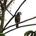 Gavilán pollero - Road side hawk