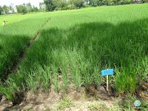 Photo: Experimental field, FPAR (Pichai, Uttaradit)