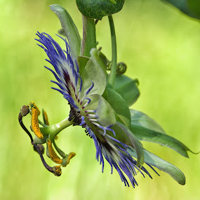 Passion flower by Roberta Sala - Flowers Single Flower ( macro, nature, macro photography, passion flower, flower )