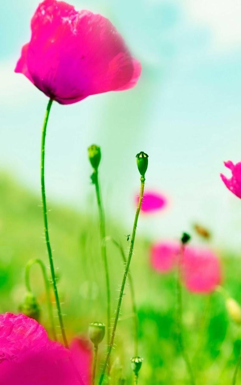 Скриншот Pink Flower Wallpaper HD - Pink Flower Wallpapers