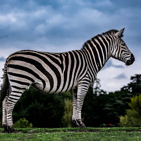 Portrait of a Zebra by Andy Smith - Uncategorized All Uncategorized ( sky, grass, dramatic, zebra, stripes, portrait, animal,  )