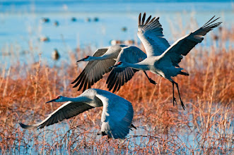 Photo: Sandhill cranes taking flight in early morning