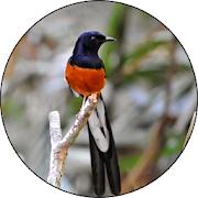 Masteran Burung kicau Lengkap APK