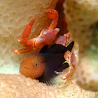 Guard Crab/Red Coral Crab