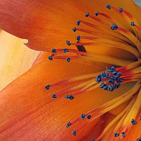 Shimul  by Kallol Bhattacharjee - Nature Up Close Flowers - 2011-2013