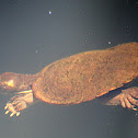 Saw-shelled Turtle