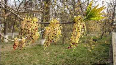 Photo: Artar American (Acer negundo) - din Turda, Parcul Central - 2019.04.02