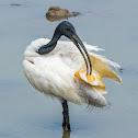 black-headed ibis, Oriental white ibis, Indian white ibis, black-necked ibis
