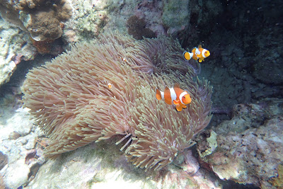 Spot colorful fish and Sea Anemones