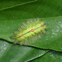 Slug Caterpillar (Cup Moth)