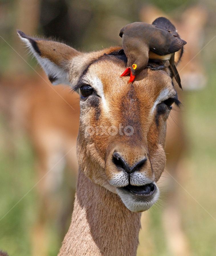 by Nobby Clarke - Animals Other ( kruger national park, fantastic wildlife, africa, , Free, Freedom, Inspire, Inspiring, Inspirational, Emotion )